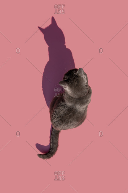 Studio shot of Russian Blue cat sitting against pink background