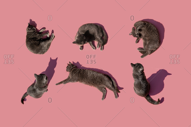 Studio shot of Russian Blue cats against pink background