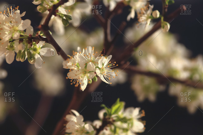 Germany-Mirabelle blossoms in spring