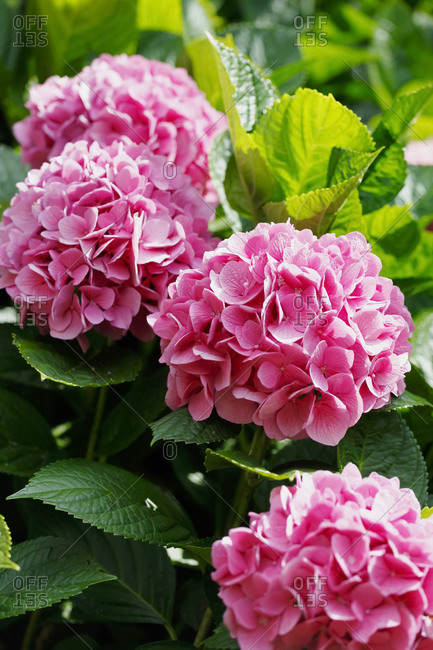 Germany- Pink blooming hydrangeas (Hydrangea macrophylla)