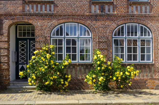 Germany- Schleswig-Holstein- Husum- Yellow roses blooming in front of brick house