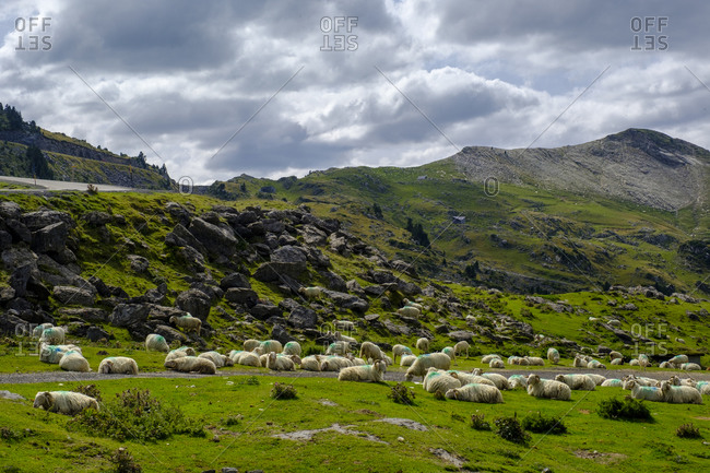 France- Pyrenees-Atlantiques- La Pierre Saint-Martin- Flock of sheep resting in Pyrenees
