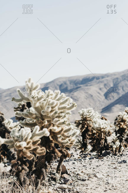 Cactuses at National Park- Joshua Tree- USA