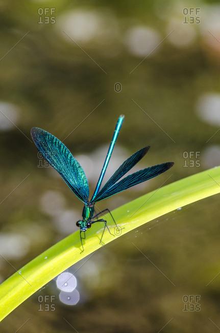 Germany- Broad-winged damselfly perching on leaf