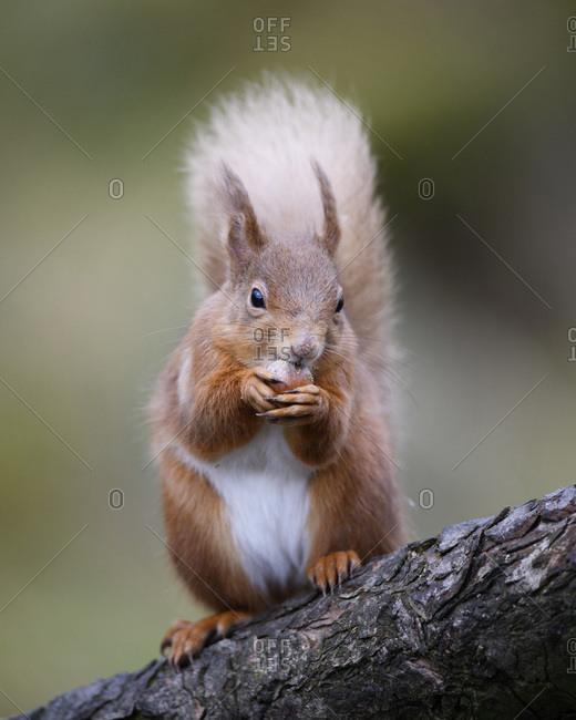 UK- Scotland- Portrait of red squirrel (Sciurus vulgaris) feeding on tree branch