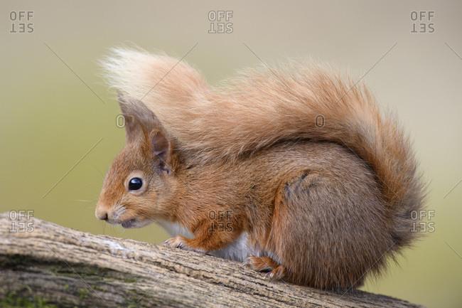 UK- Scotland- Portrait of red squirrel (Sciurus vulgaris) sitting outdoors