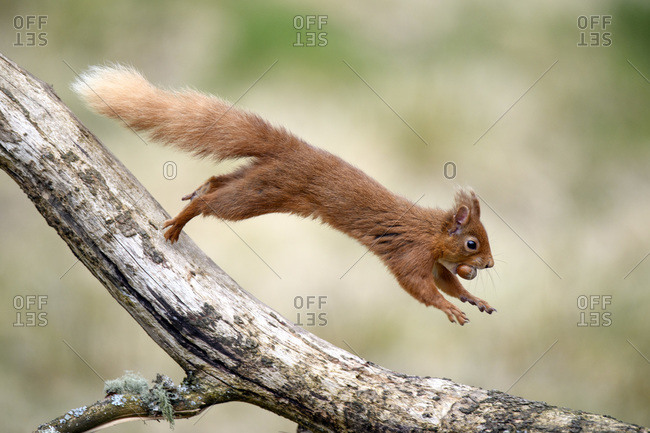 Red squirrel (Sciurus vulgaris) jumping on tree branch with nut in mouth