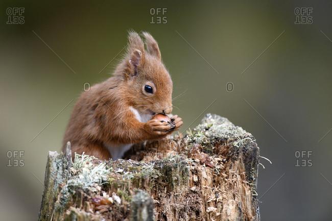 UK- Scotland- Portrait of red squirrel (Sciurus vulgaris) feeding on tree stump
