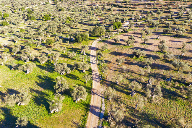 Spain- Balearic Islands- Valldemossa- Drone view of dirt road in summertime olive tree orchard