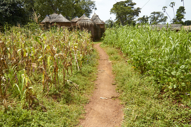 Benin- Footpath cutting through corn field with African huts in background