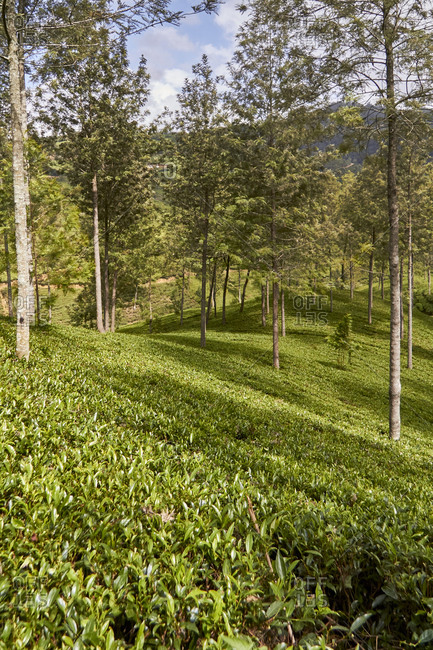 Sri Lanka- Central Province- Kandy- Green tea plantation