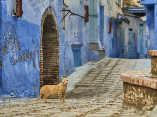 Morocco- Chefchaouen Province- Chefchaouen- Cat standing in middle of alley between old blue-colored houses