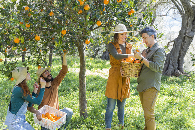 Group of friends picking organic oranges during their countryside getaway