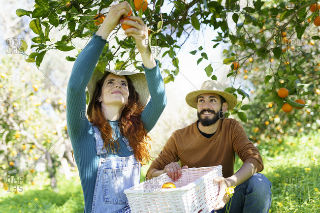 Couple picking organic oranges from a tree in the countryside