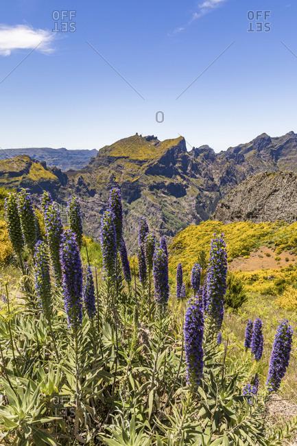 Portugal- Madeira- Pride of Madeira (Echium candicans) growing at Miradouros do Paredao
