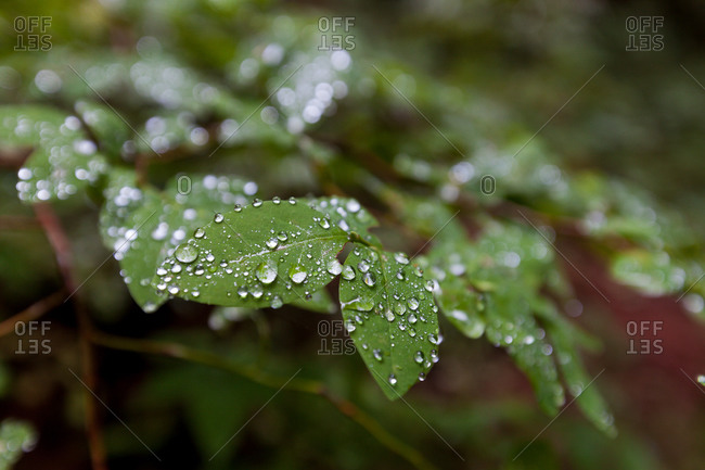 Close up of dew on green leaves