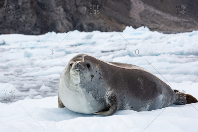 A Crabeater seal lying on ice in the Antarctic.