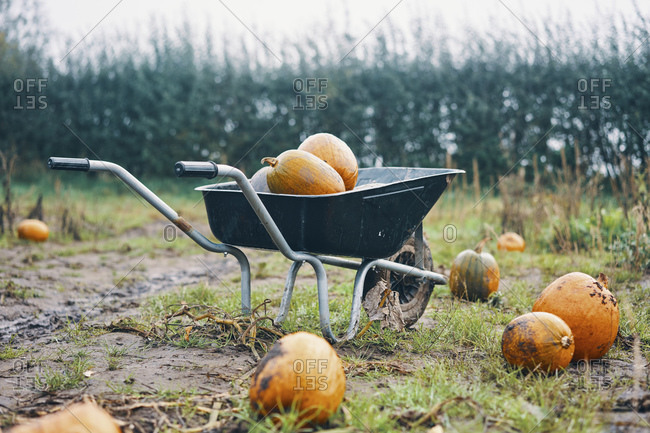 A wheelbarrow of pumpkins in a pumpkin field.
