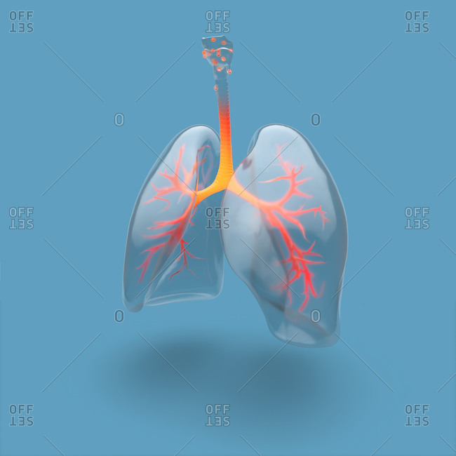 Illustration of human lungs and bronchial tree highlighted, on blue background