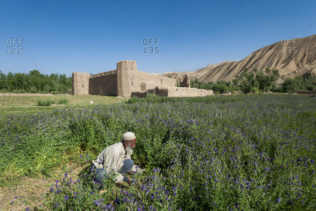 A farmer cuts purple flowers which will be used as fodder