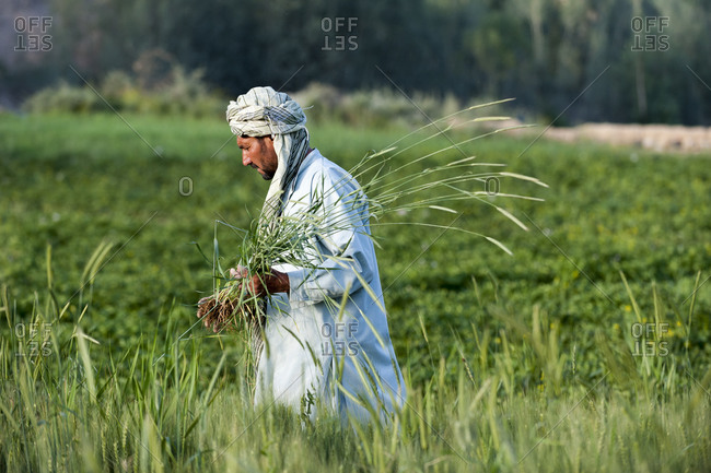 A farmer clears away grass from his wheat fields
