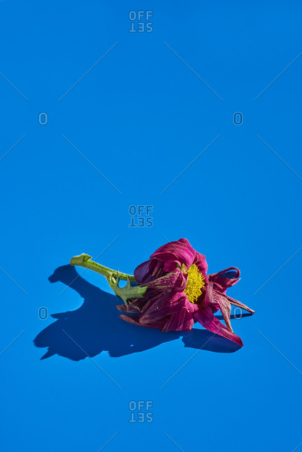 Oink wilted daisy on a blue background