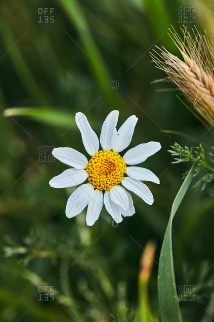 daisy flowers with their characteristic yellow and white colors among the green grass. macro detail