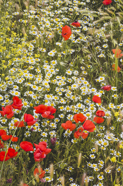 Beautiful flower meadow with poppies