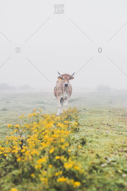 Spain- Cantabria- Lone cow grazing in fog