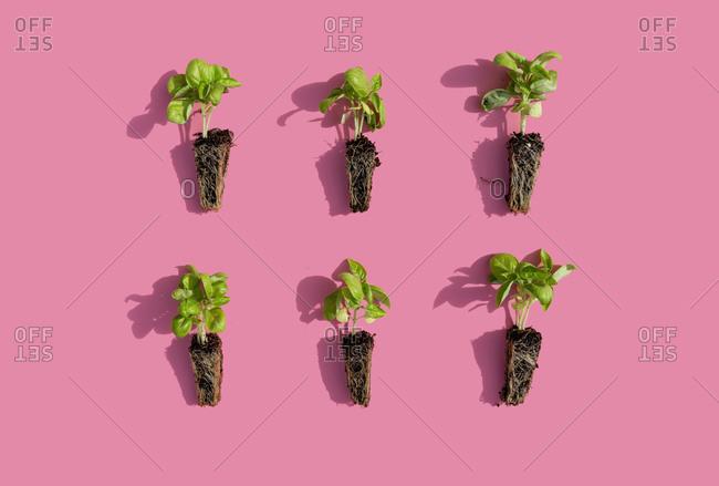 Studio shot of six basil seedlings against pink background