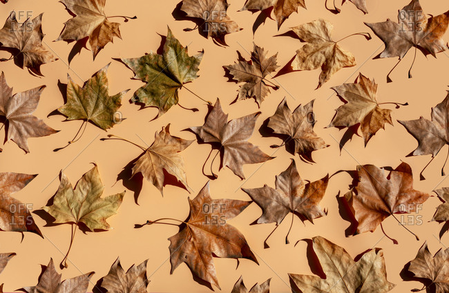 Studio shot of dry maple leaves lying against brown background