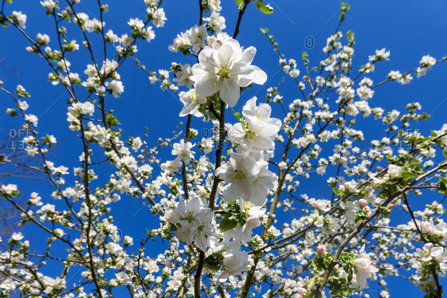 Germany- Branches of blossoming apple tree