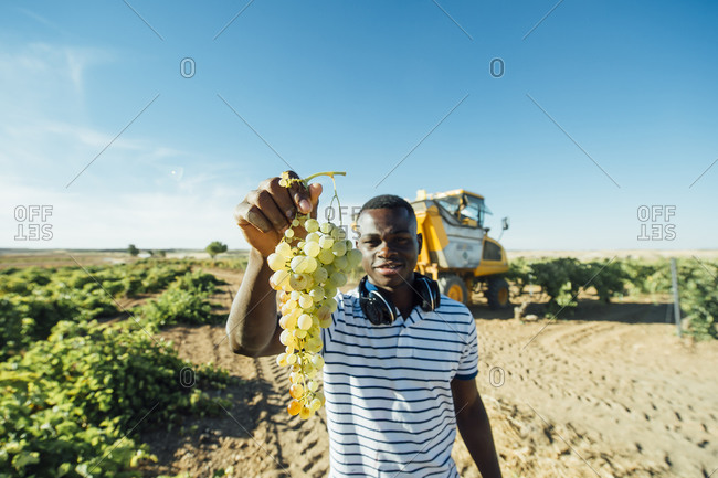 Winegrower showing harvested grapes- Cuenca- Spain