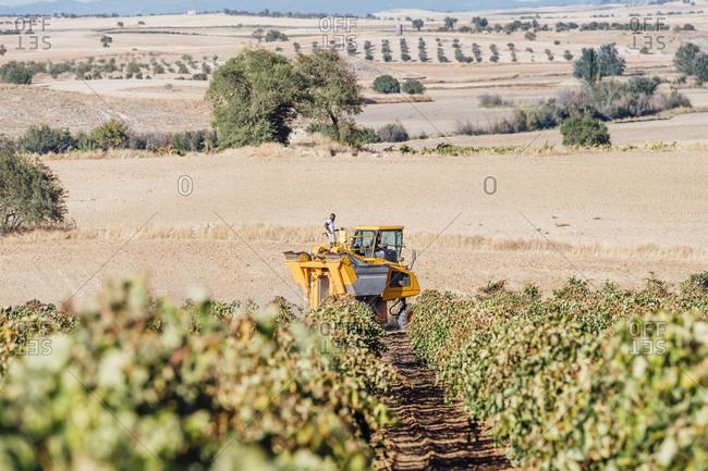 Harvesting of grapes- Cuenca- Spain