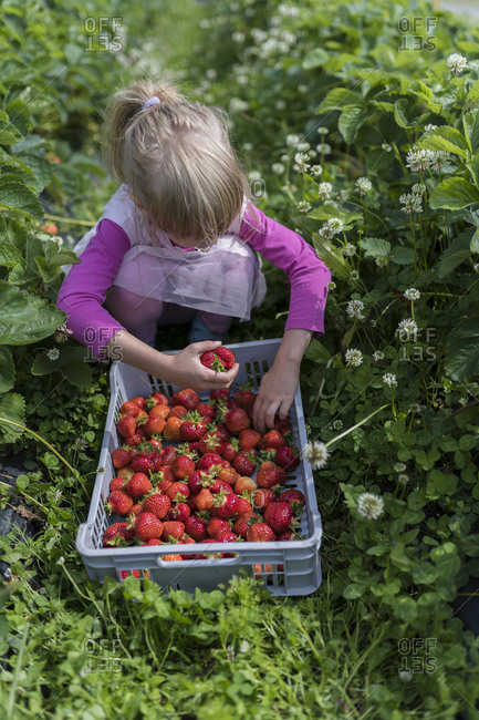 Little girl picking strawberries in a field