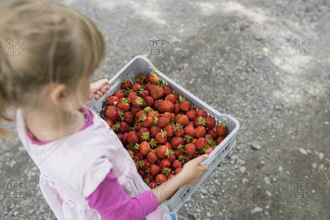 Little girl carrying plastic box full of strawberries