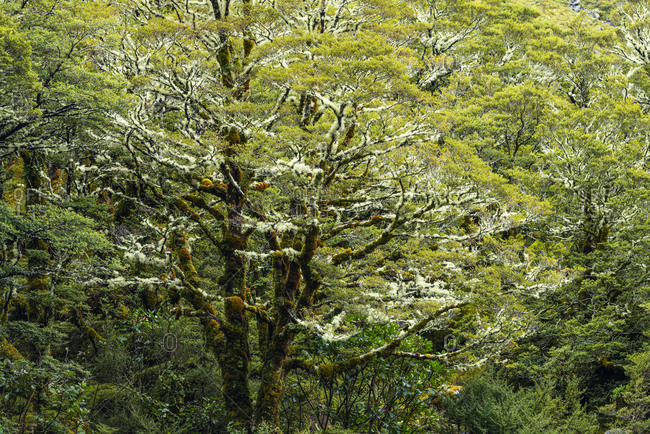New Zealand- Southland- Green beech tree covered in lichen