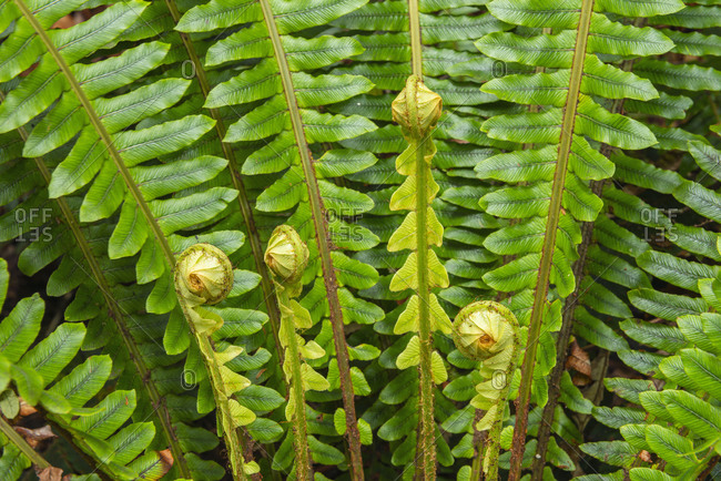 New Zealand- Close-up of curled up ferns