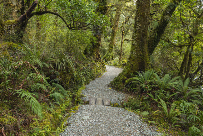 New Zealand- Southland- Te Anau- Empty forest footpath in Fiordland National Park