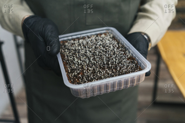 Close-up of man holding plastic box for cultivating microgreens
