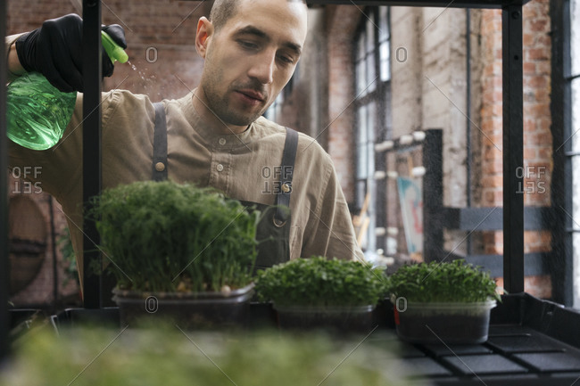 Man watering microgreens on shelf