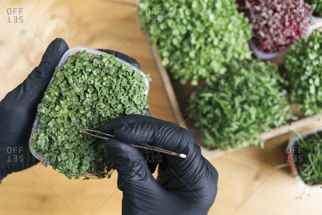 Close-up of man using tweezers on microgreen plant