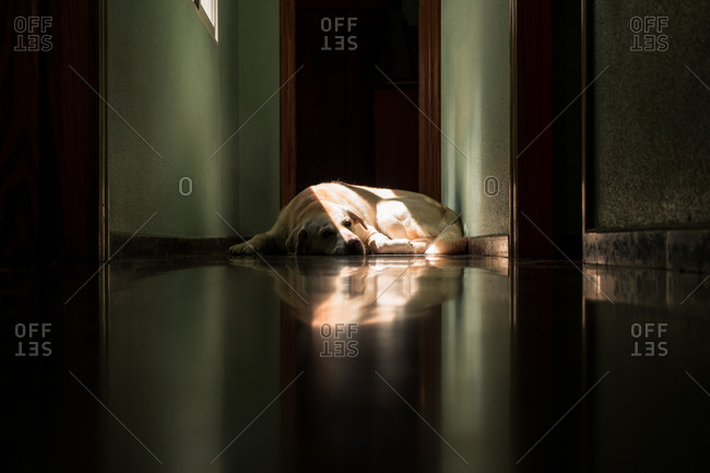 Labrador dog lying in the sun at home