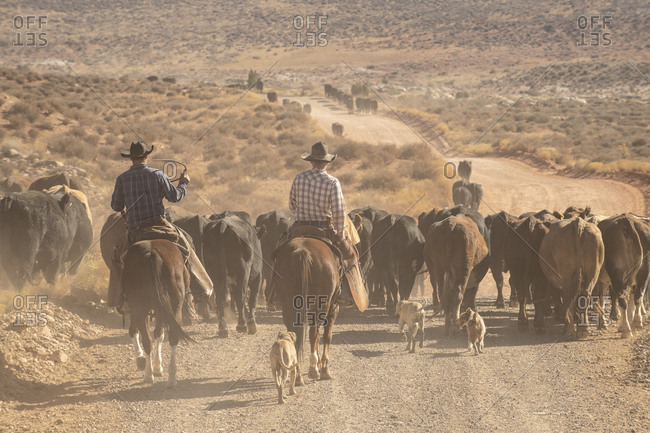 Cowboys Rustling Cattle in on a Dusty Stretch of Utah Desert