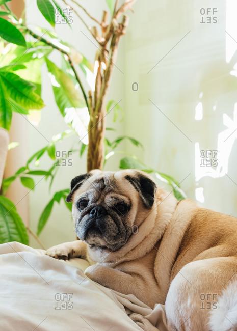 Pug breed dog resting on the sofa