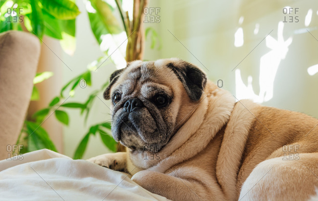 Pug breed dog resting on the sofa