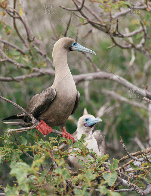 A pair of red-footed booby guarding over their nest in the Galapagos