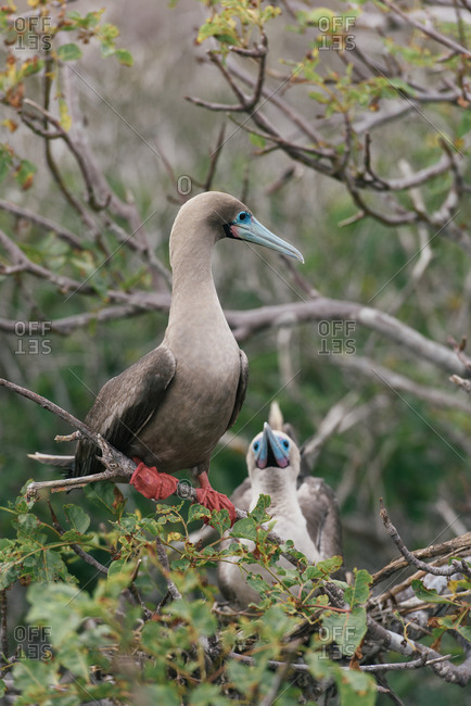 A mating couple of red-footed booby sit on nest in Galapagos islands