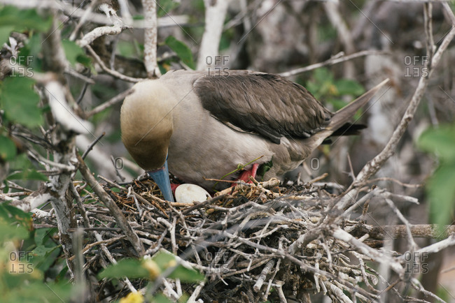 A red-footed booby parent checks on egg in nest in the Galapagos
