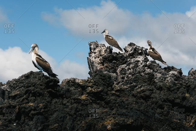 A group of blue footed booby sit on top of lava rocks in the Galapagos